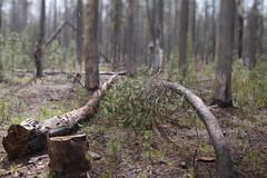 Boundary Springs (Tony Pulokas) Tags: boundarysprings oregon spring rogueriver craterlakenationalpark snow forest tree tilt blur bokeh craterlake rain pine lodgepolepine wildfire forestfire