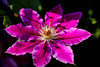 Clematis (Peter Hosey ( on and off)) Tags: clematis