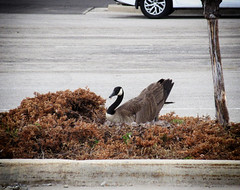 2018 - Day 143:  goose island (Mark.Swanson) Tags: goose canadagoose brantacanadensis normal illinois parkinglot shoppingcenter