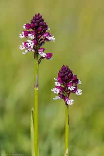 Burnt Orchid (Neotinea ustulata var. aestivalis)
