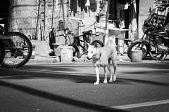 Street dog (frank.gronau) Tags: weis schwarz white black manila dog hund strase street alpha sony gronau frank