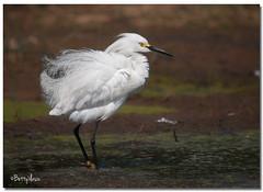 Snowy Egret (Betty Vlasiu) Tags: snowy egret egretta thula bird nature wildlife chincoteague island