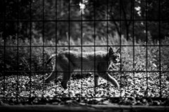 these moments... (danye.de) Tags: bnw blackandwhite cage lynx eyecontact animal wildanimalsdontbelongbehindbars