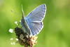 l'argus bleu_Polyommatus icarus_01 (o2ladudelire) Tags: papillon papillons butterflies butterfly orange green blue canon macro lepidoptera lepidoptere insect insects insecte insectes yello eos ef100mm flowers flower fleur fleurs france gironde