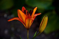 Luscious Lily 1 (LongInt57) Tags: stargazer lily lilies flower blossom bloom bud petals stamens stigma pistil leaf leaves orange red yellow green nature garden kelowna bc canada okanagan