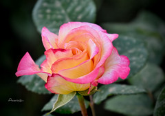 Mi rosa del jueves (Anavicor) Tags: rose rosa thursdayflower jueves jeudi givedi quintaflower