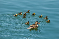 Duck and Ducklings 8983 (Gerald F. Ward) Tags: americanriverparkway duck ducklings