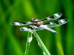 Twelve-spotted Skimmer IMG_5486 (Jennz World) Tags: ©jennifermlivick caltonswamp aylmer ontario canada dragonfly damselfly