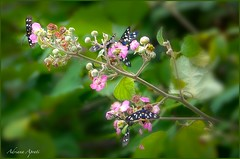 12 giugno 2018 (adrianaaprati) Tags: countryside bramble blooming flowers butterfly colors pink dark green