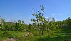Zhiguli oakery (МирославСтаменов) Tags: russia zhiguli mogutova meadow oak tree crown greenery
