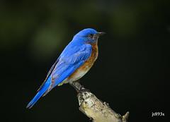 Eastern Bluebird (jt893x) Tags: 150600mm bird bluebird d500 easternbluebird jt893x male nikon nikond500 sialiasialis sigma sigma150600mmf563dgoshsms songbird thrush coth alittlebeauty thesunshinegroup sunrays5 coth5
