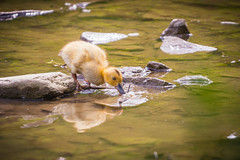 (A Great Capture) Tags: baby golden duck drink drinking agreatcapture agc wwwagreatcapturecom adjm ash2276 ashleylduffus ald mobilejay jamesmitchell toronto on ontario canada canadian photographer northamerica torontoexplore spring springtime printemps 2018 eos digital dslr lens canon 70d natur nature naturaleza natura naturephotography naturethroughthelens bird vogel oiseau πουλί madár uccello ptak pássaro птица vták fågel 새 鸟 wet water agua eau stream river reflection mirror glass reflections outdoor outdoors stone stones rock rocks park parc
