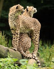 cheetah Burgerszoo JN6A6097 (j.a.kok) Tags: cheetah jachtluipaard jacinonyxjubates animal africa afrika cat kat mammal zoogdier dier predator burgerszoo