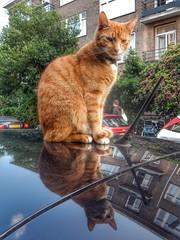 Car cat (sander_sloots) Tags: car cat auto kat rotterdam blijdorp straat huisdier reflection weerspiegeling