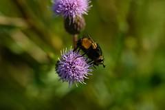 DSC_1634 (benji86cz) Tags: helios manualfocus oldlens flower bokeh macro