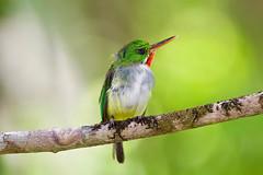 Puerto Rican Tody (btrentler) Tags: puerto rican tody el yunque san perdrito todus mexicanus birding animalia chordata vertebrata aves coraciiformes todidae