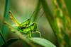 on grasshopper (Koberek@) Tags: sulików koberek sony slt 37 raynox poland polska przyroda macro makro outdoor dolnyśląsk lower silesia wild wald