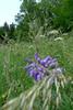 Lupinie (claudipr0) Tags: ferien holydays vacances pfalz rheinlandpfalz birkenfeld sauerbrunnen feldblumen lupinie giersch