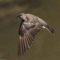 Swallow flight (Fred Roe) Tags: nikond810 nikkorafs80400mmf4556ged nikonafsteleconvertertc14eii nature wildlife birds birding birdwatching birdwatcher birdinflight swallow r northernroughwingedswallow stelgidopteryxserripennis peacevalleypark