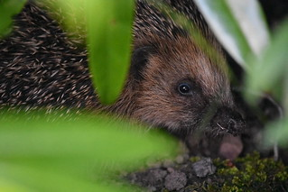 Had the privilege of photographing this prickly little guy in my friend's garden this evening!