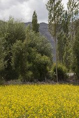 Yellow garden (bag_lady) Tags: yellow crops ladakh sumur india nubravalley ruralbeauty himalayas yellowgarden