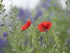 Des intrus au jardin *----+ (Titole) Tags: poppy poppies titole nicolefaton two pieddalouette delphinium 15challengeswinner
