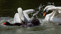 Outchhhh ! (Franck Zumella) Tags: white blanc swan cygne bird oiseau lake lac run running courir eau water reflection reflexion droplet goutte fast rapide mouvement movement nature wildelife animal animaux black noir fight chick poussin