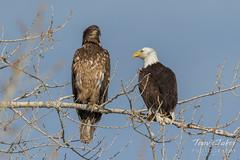 Juvenile and adult Bald Eagle together
