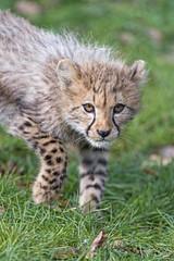 Cub carefully approaching... (Tambako the Jaguar) Tags: cheetah big wild cat cub young baby cute approaching walking portrait careful attentive grass basel zoo zolli switzerland nikon d5