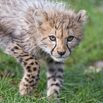 Cub carefully approaching... thumbnail