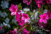 Flowers in front yard (jbalfus) Tags: azaleas egret lavender exif:isospeed=1000 camera:make=sony geocountry exif:make=sony exif:model=ilce9 exif:aperture=ƒ63 camera:model=ilce9 geostate geocity geolocation geo:lon=122045444 geo:lat=372562544 exif:focallength=531mm exif:lens=150600mmf563dgoshsm|contemporary015 a9 sonya9mirrorless sonyalpha sonyilce9 fullframe sigma150600mmlens sigmacontemporary sigmaadapter