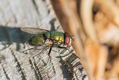 """""""Karvik !"""" #kevad #kärbes #macrofoto #makrofto #canon (Igor """"Ixa"""" Nael) Tags: macrofoto makrofoto macro kärbes fly karvane päikesekäes"""