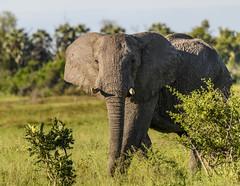 BOTSWANA: ELEPHANTS (John C. Bruckman @ Innereye Photography) Tags: botswana elephants refugees southernafrica migration water persecution poachers homelands chobenationalpark michaelchase elephantswithoutborders pachyderms sanctuary namibia zambia angola okavango delta