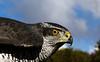 Ich seh dich ... (gabrieleskwar) Tags: outdoor vogel auge schnabel federn greifvogel