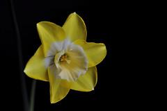 Narcissus 'Hillstar' ( Daffodil Hillstar ) or Narcissus regeneration (natureloving) Tags: nature spring printemps flower macro flowersinfrance fleursenfrance flowersineurope natureloving nikon d90 narcissushillstar daffodilhillstar afsvrmicronikkor105mmf28gifed narcissusregeneration
