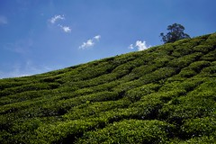 Cameron Highlands - Boh Tea Plantation 4 (luco*) Tags: malaisie malaysia cameron highlands boh tea plantation thé collines montagnes hills mountains arbre tree