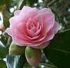Camelia (ERIK THE CAT Struggling to keep up) Tags: staffordshire flowers camelia ngc doublefantasy