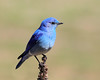 Mountain Bluebird (Renee Wood) Tags: bluebird mountainbluebird farragutstatepark idaho