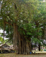 "INDONESIEN, Java,  Alter Ficus-Baum am Tempel Candi Mendut, 17271/9794 (roba66) Tags: reisen travel explorevoyages urlaub visit roba66 asien südostasien asia eartasia ""southeastasia"" indonesien indonesia ""republikindonesien"" ""republicofindonesia"" indonesiearchipelago inselstaat java ficus nature natur naturalezza baum bäume tree trees arbes arboles alberi"