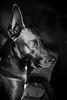 Watson Sunlight (NVenot) Tags: dog dogs animal pet pets fujifilm fuji xt1 mitakon zhongyi 35mm f095 luminar macphun