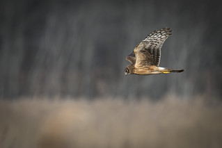 Northern Harrier **