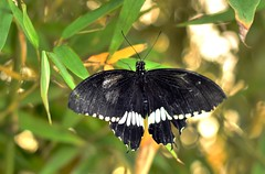 Farfalla 11 (Maurizio Belisario) Tags: farfalla butterfly insetti animali animals insect colori colours ali wings natura nature flight volo beauty bellezza