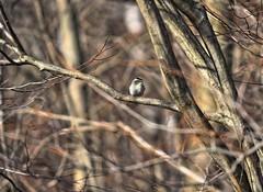 Golden-crowned Kinglet (Steve InMichigan) Tags: goldencrownedkinglet birds