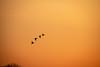 MergansersAtDawn (jmishefske) Tags: 2018 duck common nikon racine wisconsin bird windlake d850 sunrise dawn merganser county april