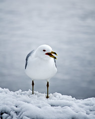 Gull Squawking (jeffyphotos) Tags: guelphontario speedriver snowstorm