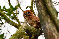 Tawny Owl 2 (Terry Angus) Tags: owl tawnyowl tawny norden