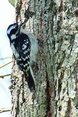Backyard Birds (Clarence Juneau) Tags: downywoodpecker female