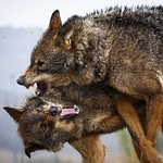 Wolves fighting thumbnail