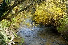 Modau (ivlys) Tags: hessen niederramstadt modau bach brook wasser water forsythie forsythia blume flower blüte blossom gelb yellow landschaft landscape natur nature ivlys