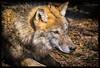 wolf (canis lupus) (P.Höcherl) Tags: 2018 nikon d5300 tamron tamron16300mmf3563diiinafvcpzdmacro bayern deutschland germany wolf bavaria bavarianforest lohberg bayerischerwald